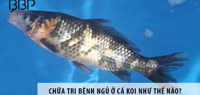 Chữa trị bệnh ngủ ở cá koi như thế nào?