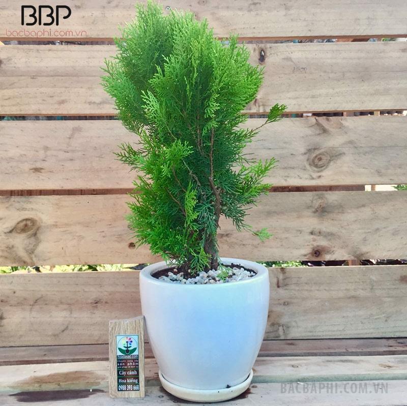 Cây bách cảnh được trồng trong các gia đình hiện nay có chiều cao từ 25-35cm