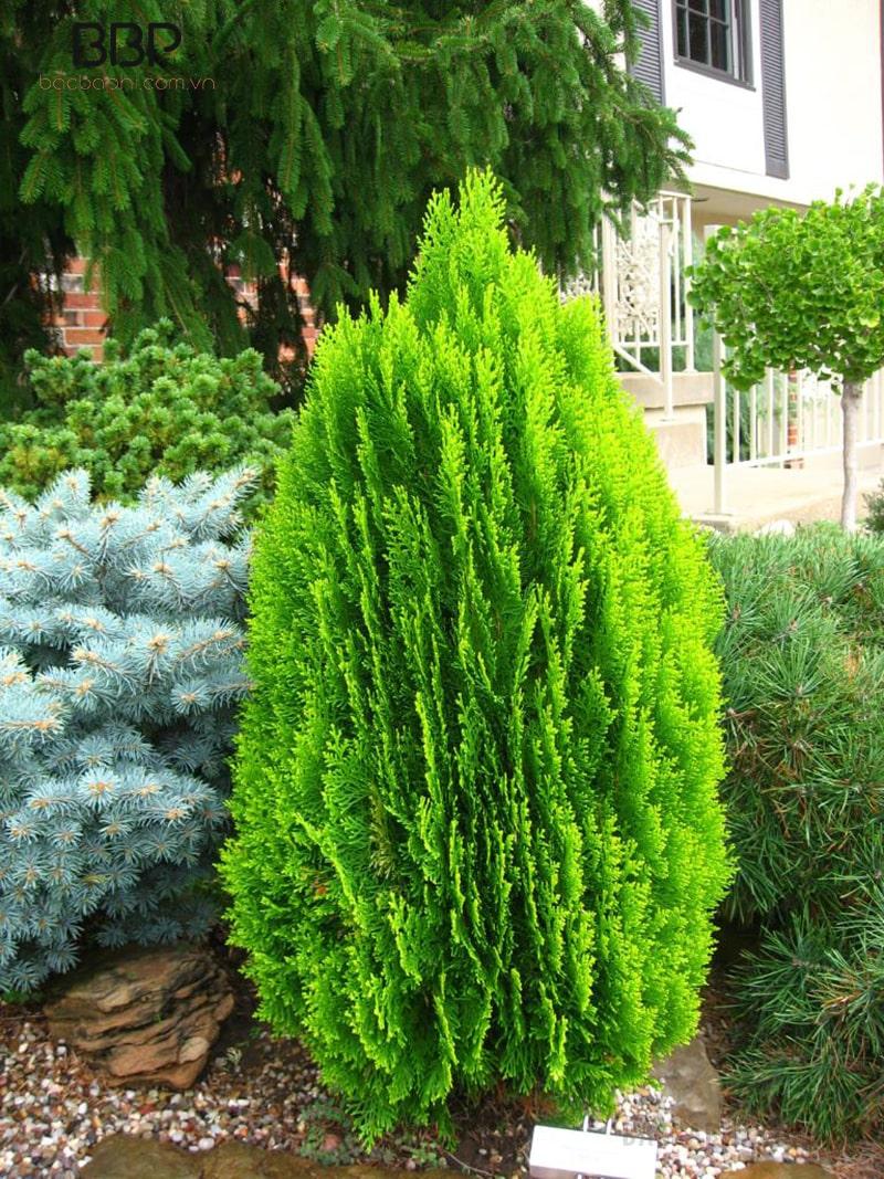 Cây bách thích hợp trồng ngoài trời hơn trong nhà