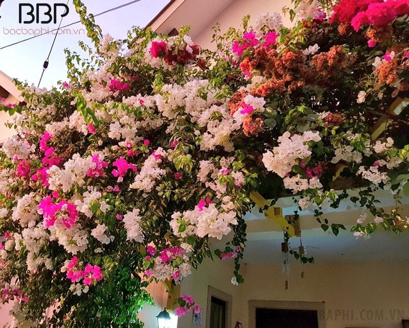 Hoa giấy thường được trồng ở trước nhà