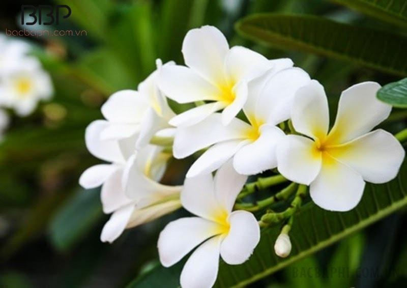 Cây hoa sứ màu trắng rất thích hợp trồng trước nhà