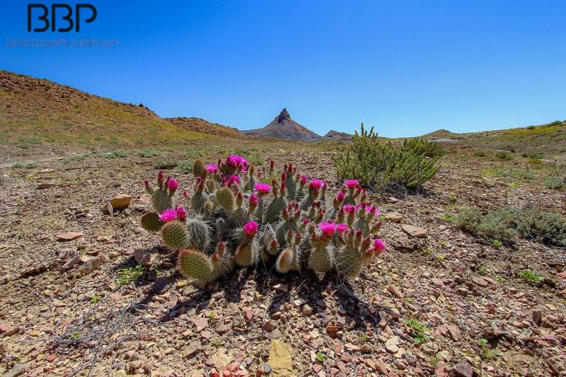 Xương rồng được tìm thấy ở vùng sa mạc khô cằn