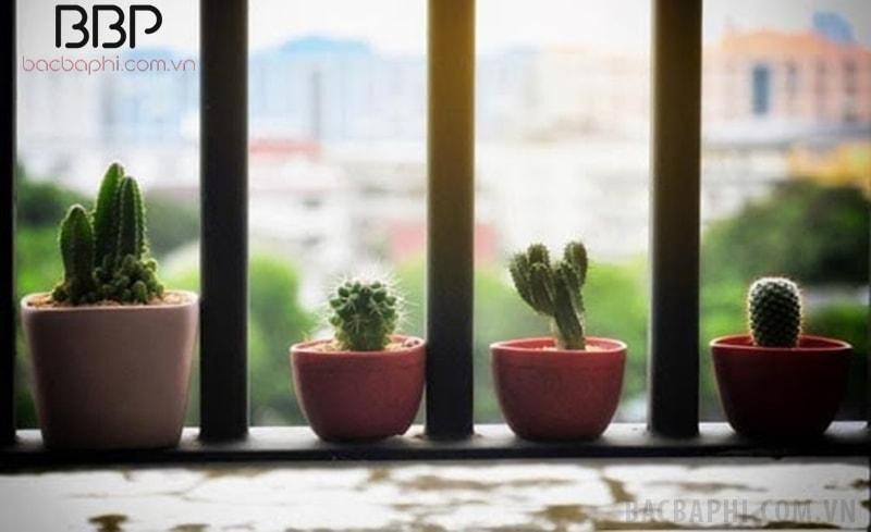 Nên trồng xương rồng ở bệ cửa sổ hoặc ban công