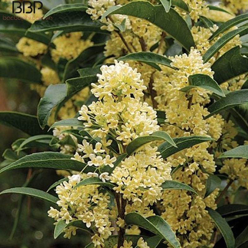 Cây hoa mộc rất thích hợp trồng trước nhà hoặc trong sân vườn