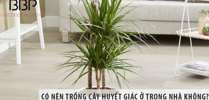 Có nên trồng cây huyết giác ở trong nhà không?