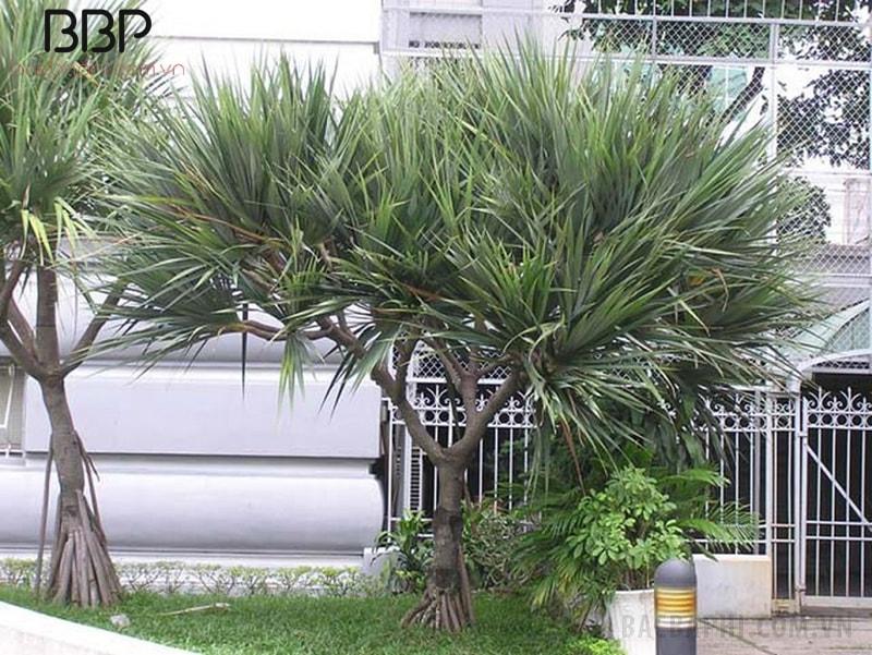 Có thể trồng cây Huyết Giác ngoài sân, trước cửa nhà
