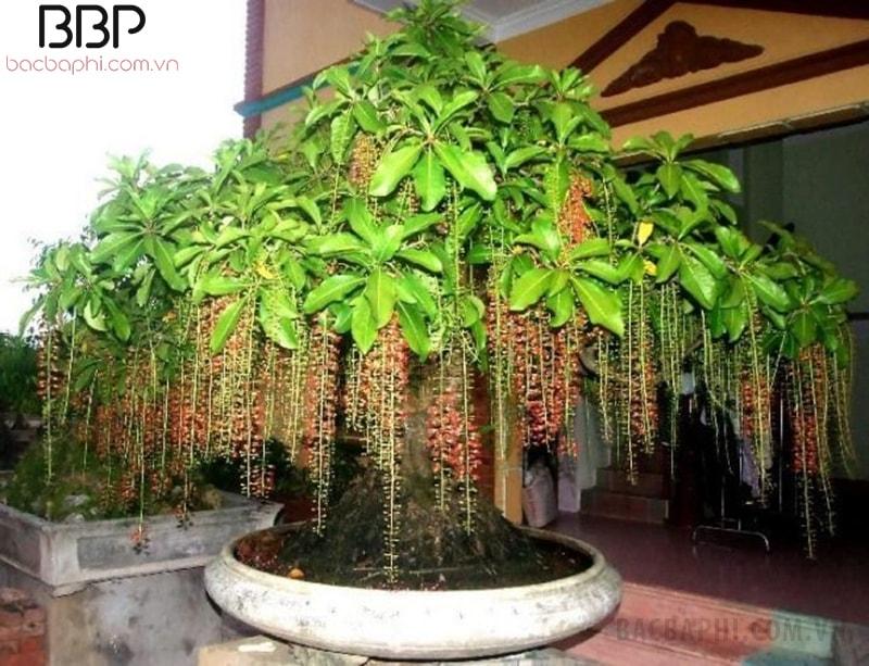 Cây Lộc Vừng cảnh trồng trong chậu đặt trước nhà