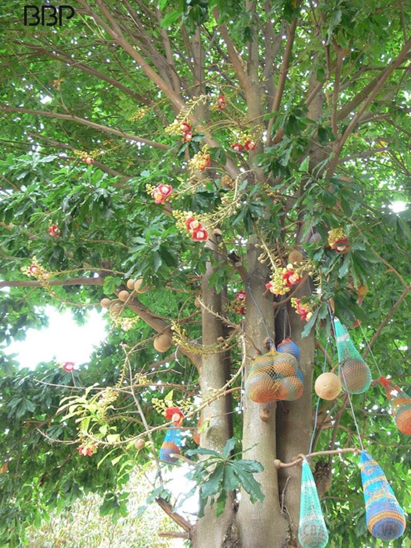 Cây Sala to, tán rộng, cho nhiều bóng mát, thường được trồng ở các chùa chiền