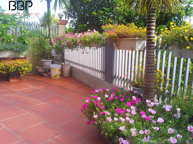 Trồng hoa Mười Giờ trong sân nhà
