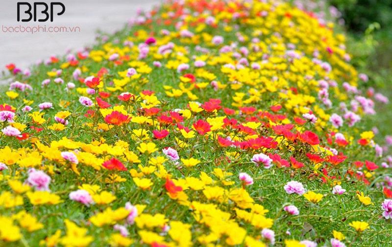 Hoa Mười Giờ phát triển rất nhanh và có nhiều màu hoa khác nhau