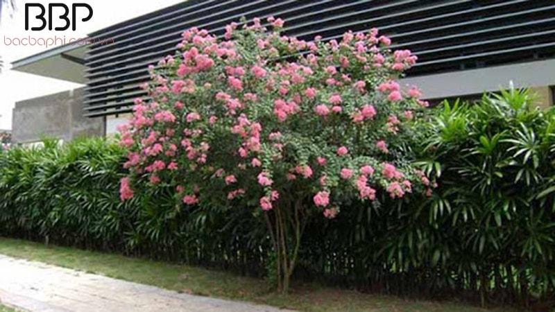 Cây hoa Tường Vi trồng trong sân nhà
