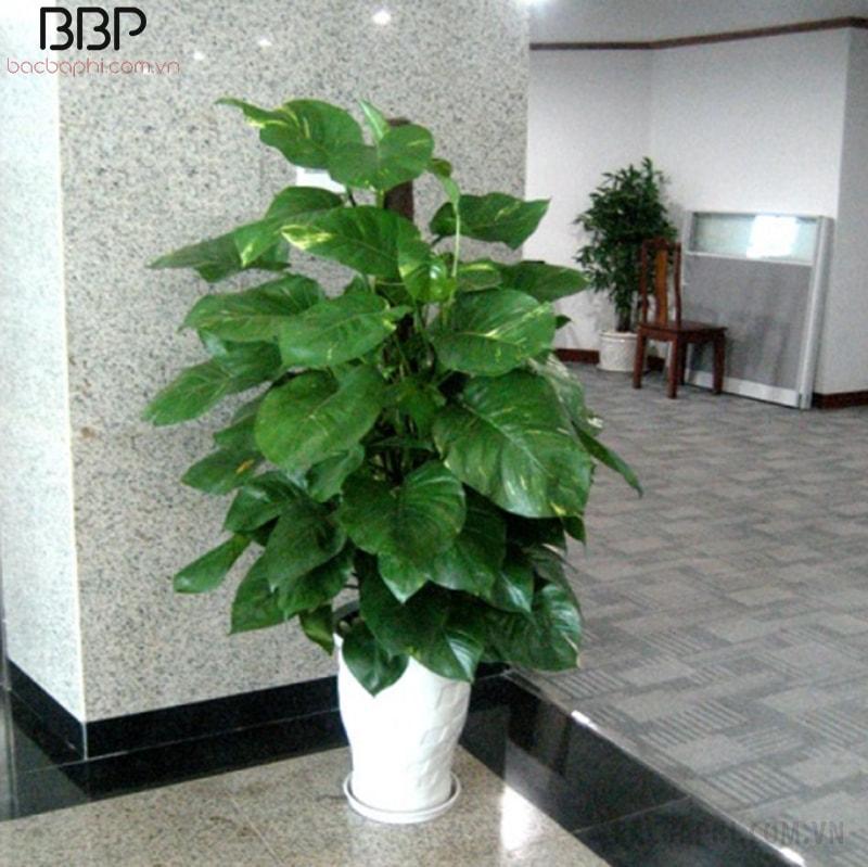 Cây Vạn Niên Thanh có thể được trồng trang trí hành lang, trang trí sảnh, hiên nhà