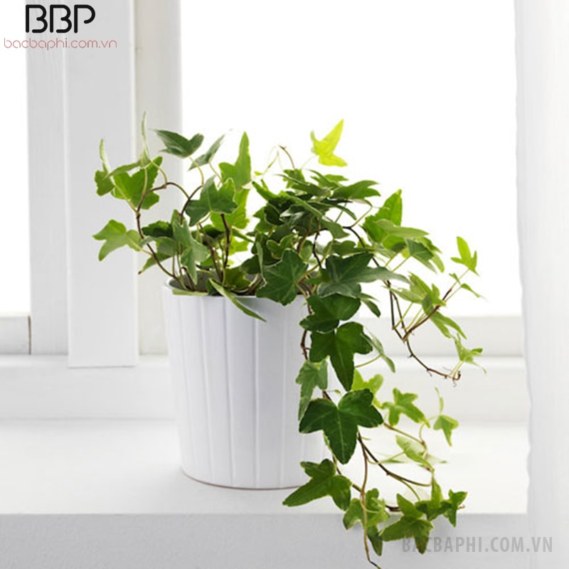 Một chậu Thường Xuân nhỏ bên cửa sổ giúp không gian xanh mát, tinh tế hơn