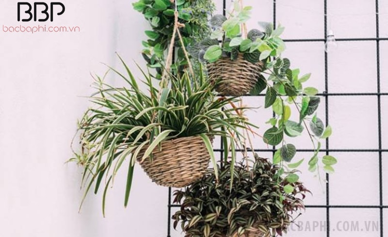 Bạn có thể trồng cây dây leo trong nhà treo bên cửa sổ