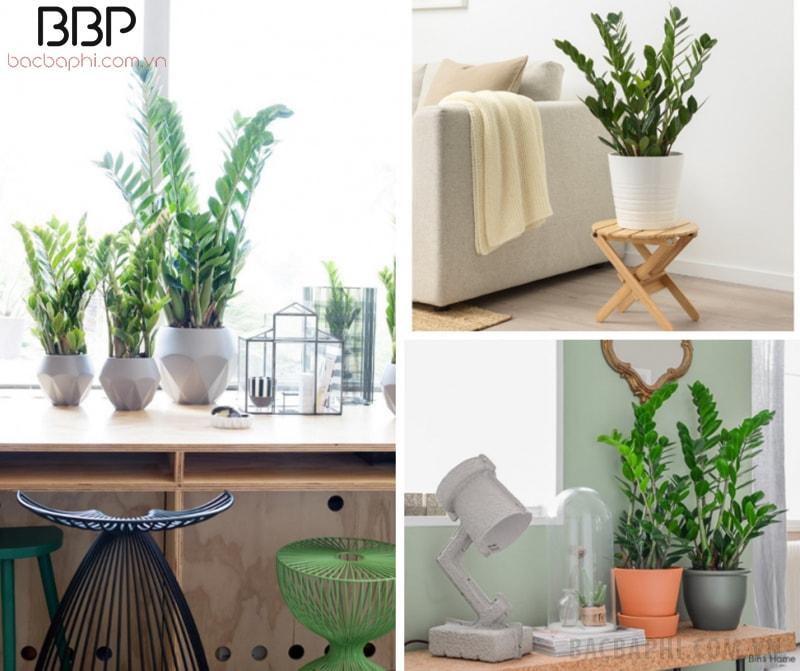Có thể trồng cây Kim Tiền ở phòng khách, bàn làm việc hay trên bục cửa sổ