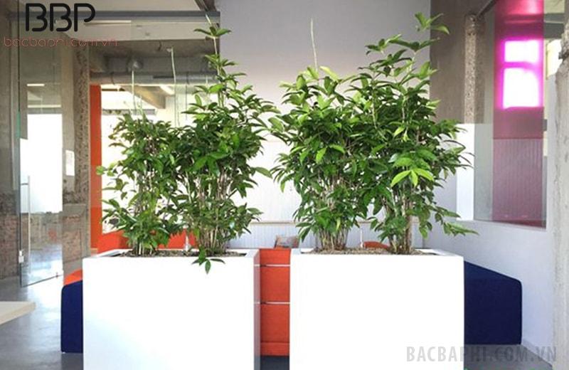 Trúc Nhật được trồng trang trí văn phòng