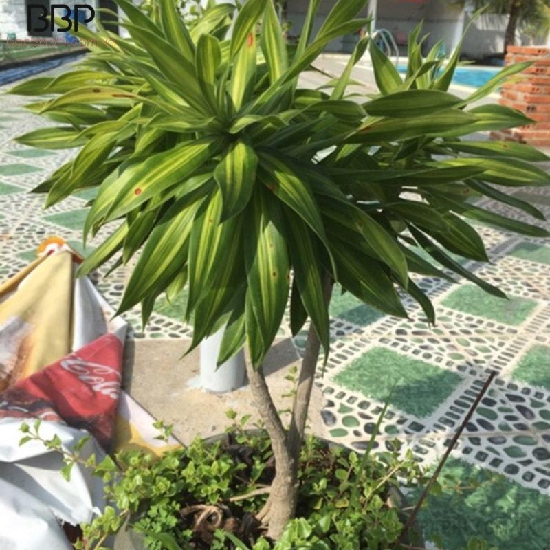 Cây Trúc Bách Hợp trồng trang trí sân vườn