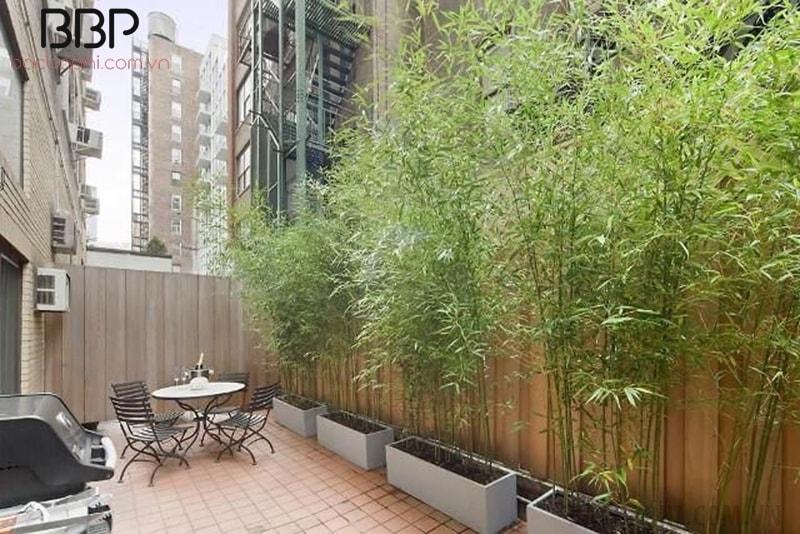 Trúc Cần Câu thường được trồng trang trí sân vườn, ban công
