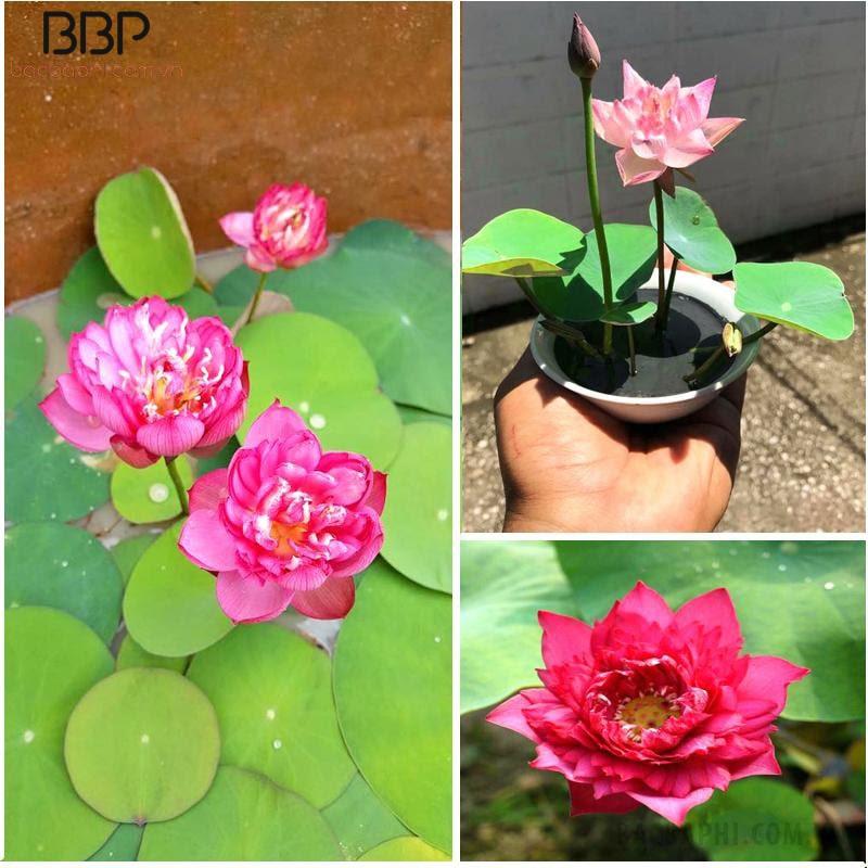 """Hoa sen cũng được xem là """"Quốc hoa"""" của Việt Nam"""