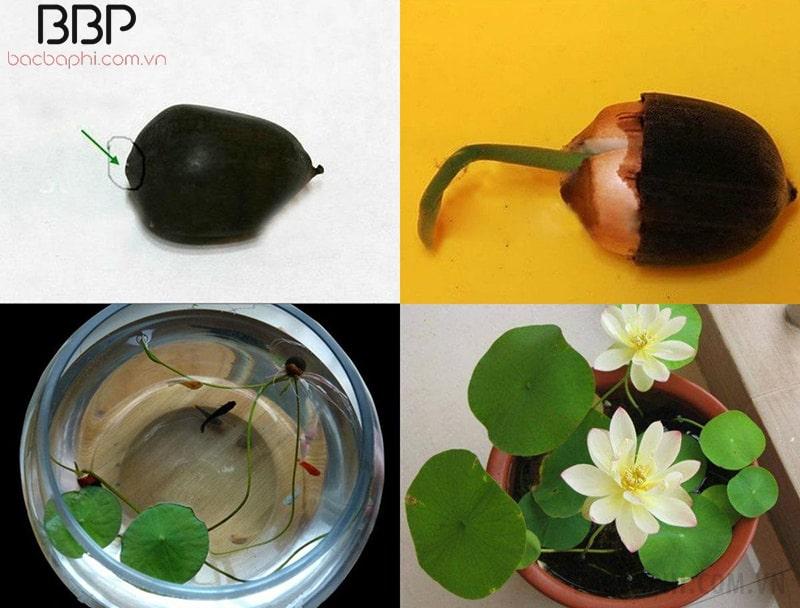 Cách trồng hoa sen từ việc ươm hạt