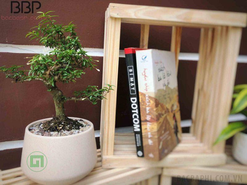 Mai chiếu thủy có thể trồng trong nhà, văn phòng