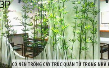 Có nên trồng cây trúc quân tử trong nhà không, trồng tốt không